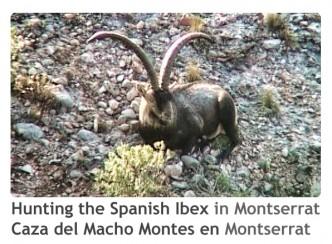ReivaxFilms_Caza del Macho Montes en Montserrat